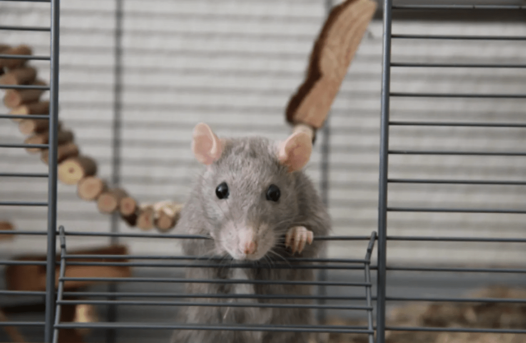 grey rat playing in cage