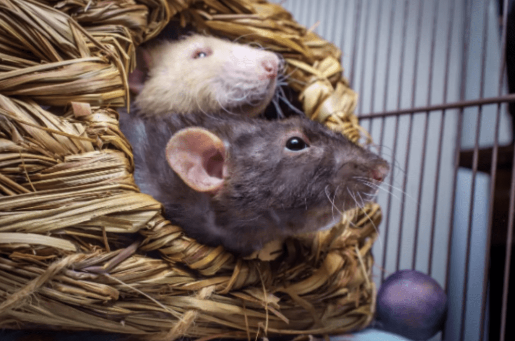grey and white rat in a basket