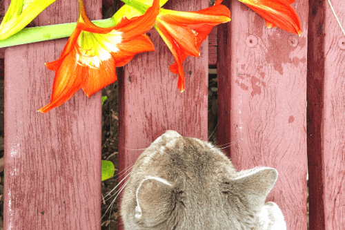 cat trying to sniff a lily flower