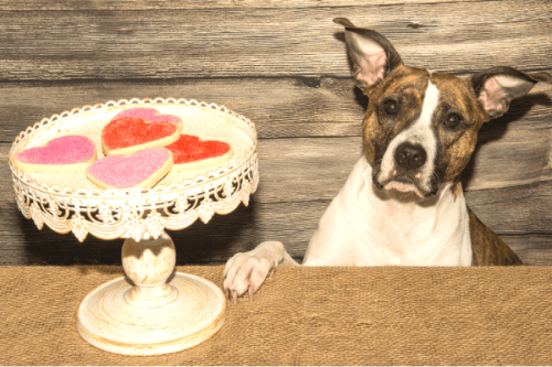 dog begging for a valentine's day cookie